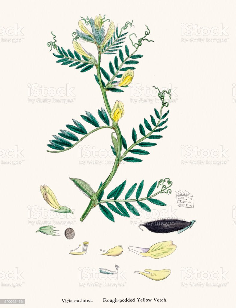 Vetch plant 19th century illustration vector art illustration