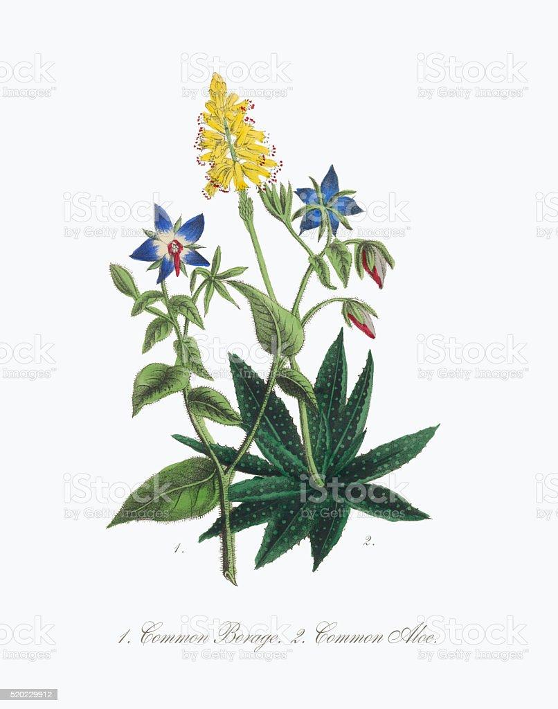 Victorian Botanical Illustration of Borage and Aloe stock photo