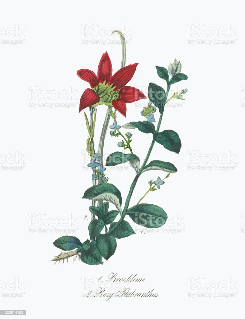 Victorian Botanical Illustration of Brooklime and Rosy Flabranthus vector art illustration