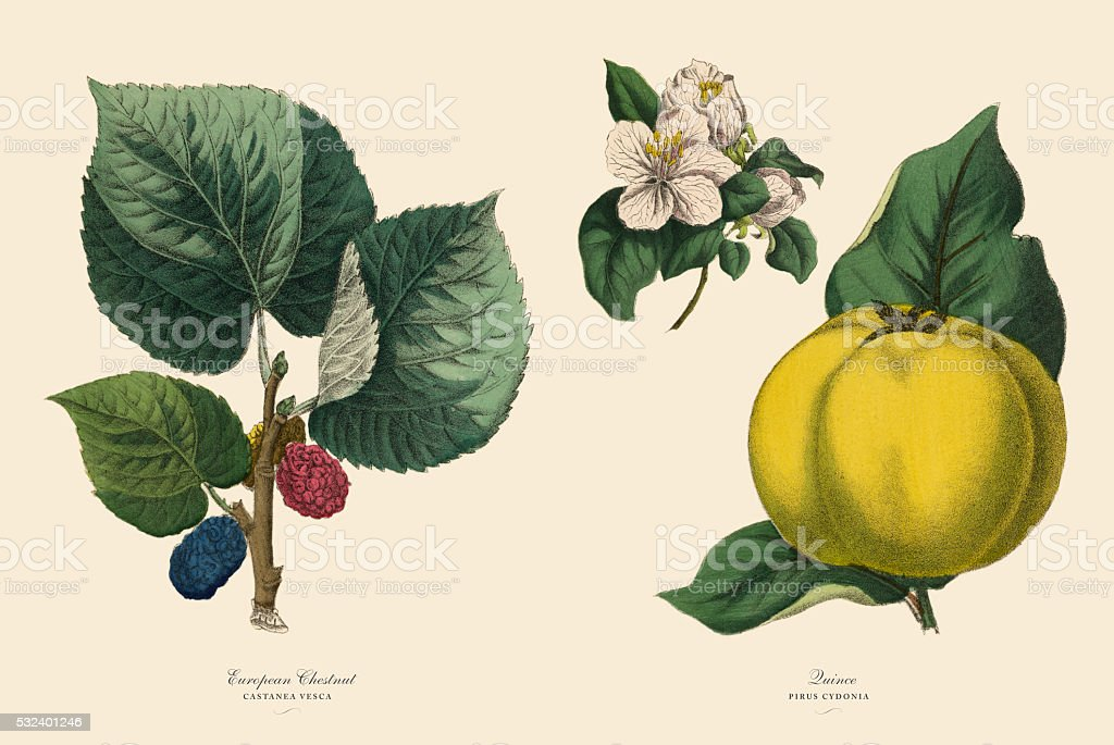 Victorian Botanical Illustration of Chestnut Tree and Quince Plants vector art illustration