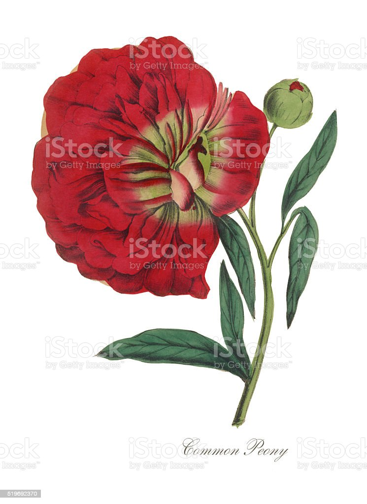 Victorian Botanical Illustration of Common Peony vector art illustration