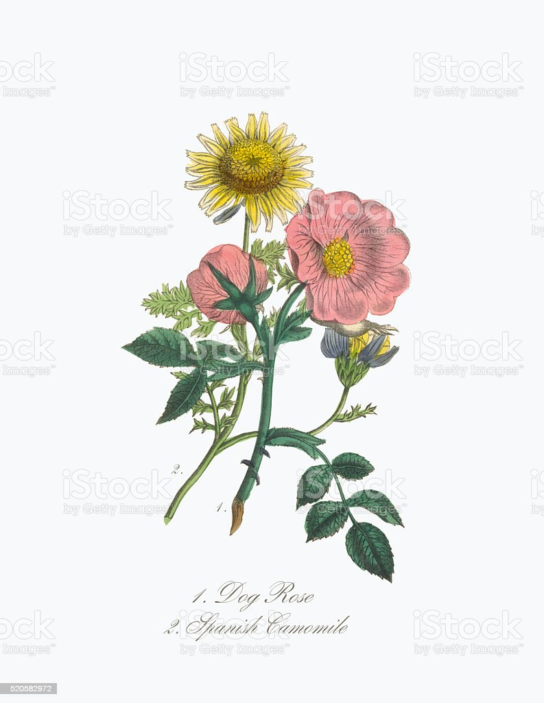 Victorian Botanical Illustration of Dog Rose and Spanish Camomile vector art illustration