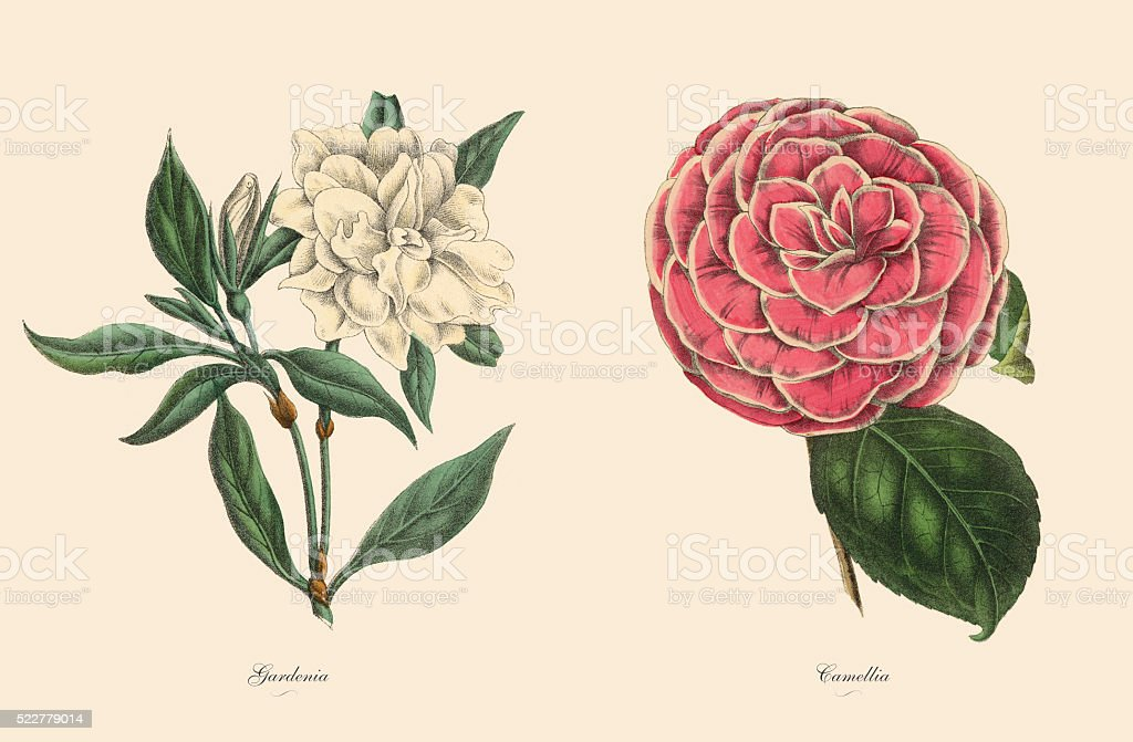 Victorian Botanical Illustration of Gardenia and Camellia Plants stock photo