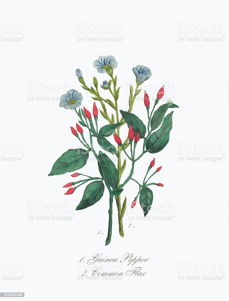 Victorian Botanical Illustration of Guinea Pepper and Common Flax vector art illustration