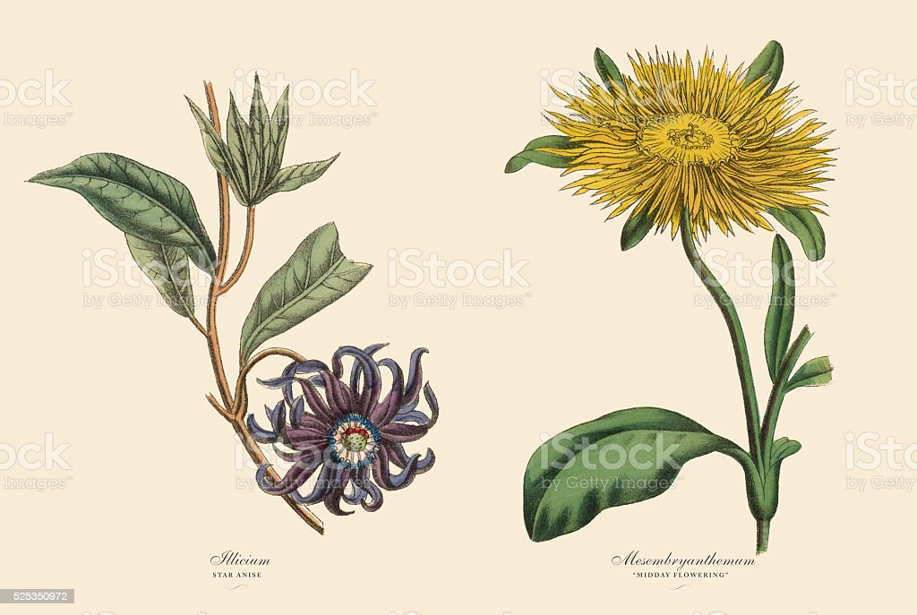 Victorian Botanical Illustration of Illicium and Mesembryanthemum Plants vector art illustration
