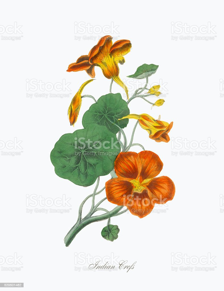 Victorian Botanical Illustration of Indian Crefs vector art illustration