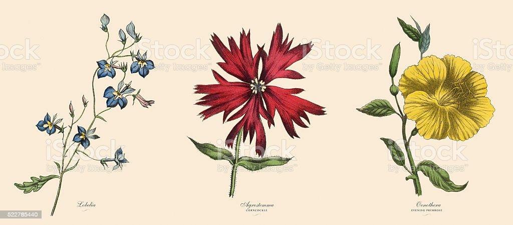 Victorian Botanical Illustration of Lobelia, Agrostemma and Primrose Plants vector art illustration