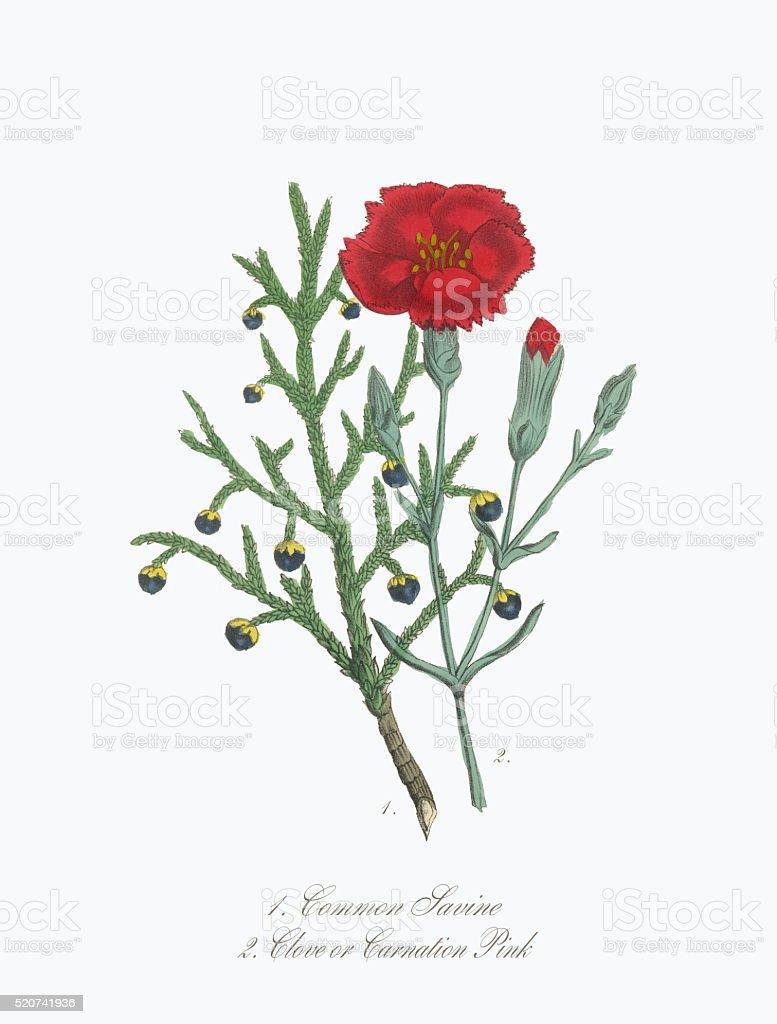 Victorian Botanical Illustration of Savine and Clove or Carnation vector art illustration