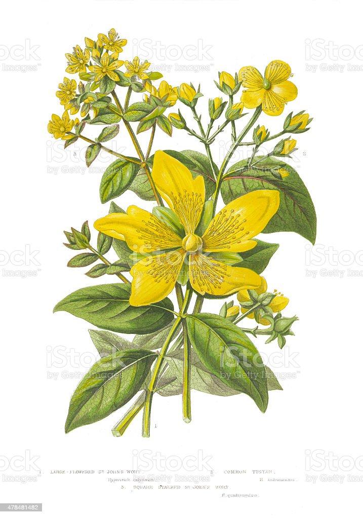 Victorian Botanical Illustration of St. John's Wort vector art illustration