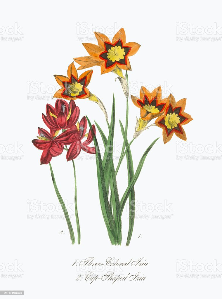 Victorian Botanical Illustration of Three-Colored and Cup-Shaped Ixia vector art illustration