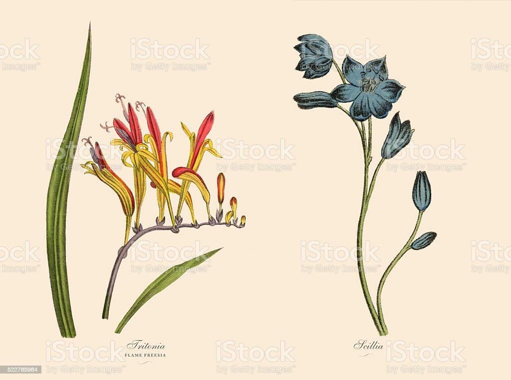 Victorian Botanical Illustration of Tritonia and Scillia Plants vector art illustration