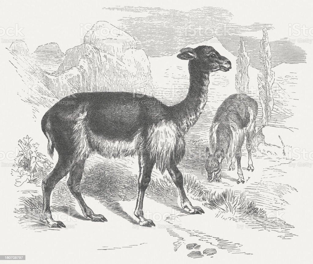Vicugna, wood engraving, published in 1875 vector art illustration