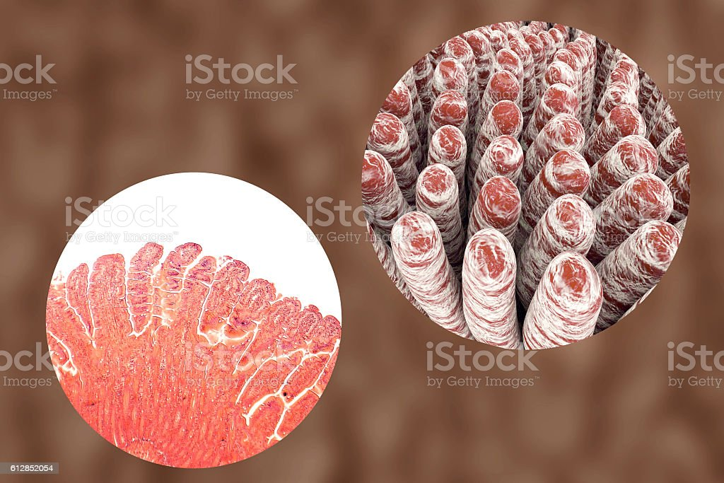 Villi of small intestine vector art illustration
