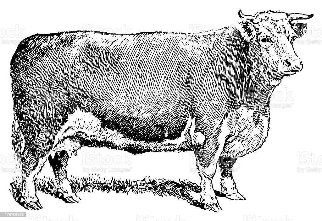 Vintage engraving of a cow royalty-free stock vector art