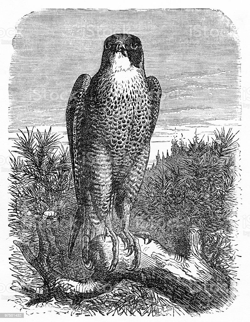 Vintage Engraving of a Peregrine Falcon vector art illustration