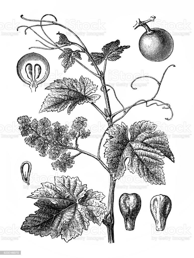 Vitis vinifera (common grape vine) vector art illustration