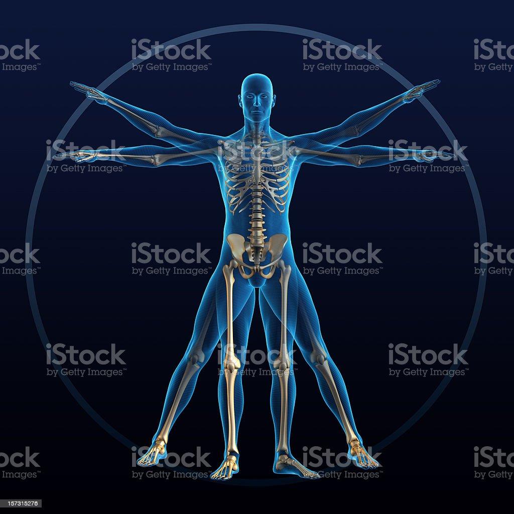 Vitruvian man royalty-free stock vector art