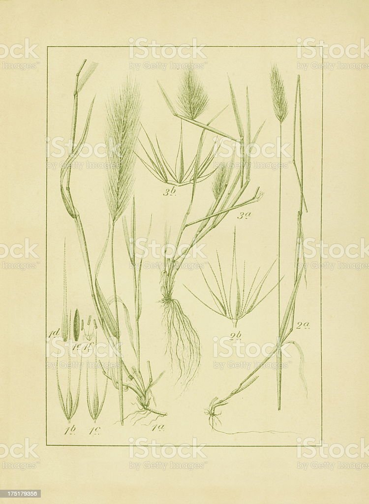 Wall, meadow and sea barley | Antique Botanical Illustrations royalty-free stock vector art
