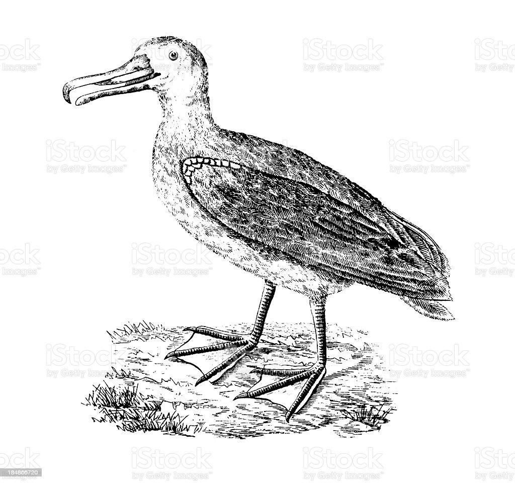 Wandering albatross | Antique Bird Illustrations vector art illustration
