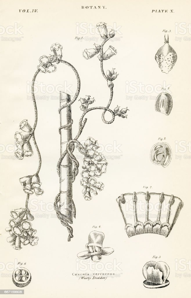 Warty dodder engraving 1877 vector art illustration