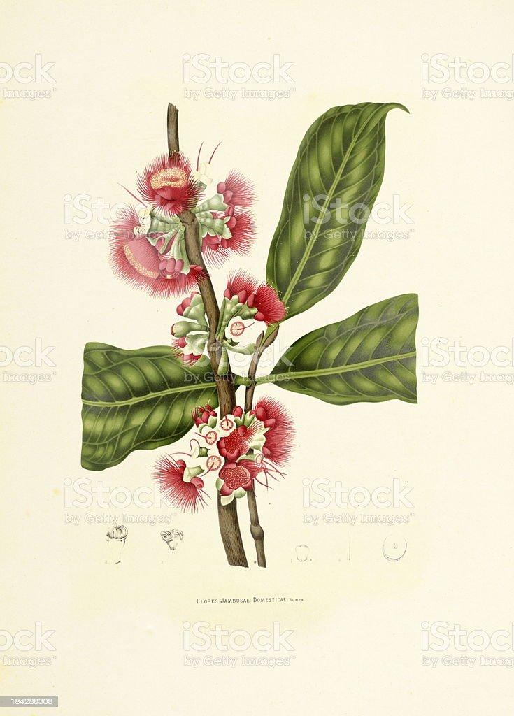 Water Apple | Antique Plant Illustrations vector art illustration