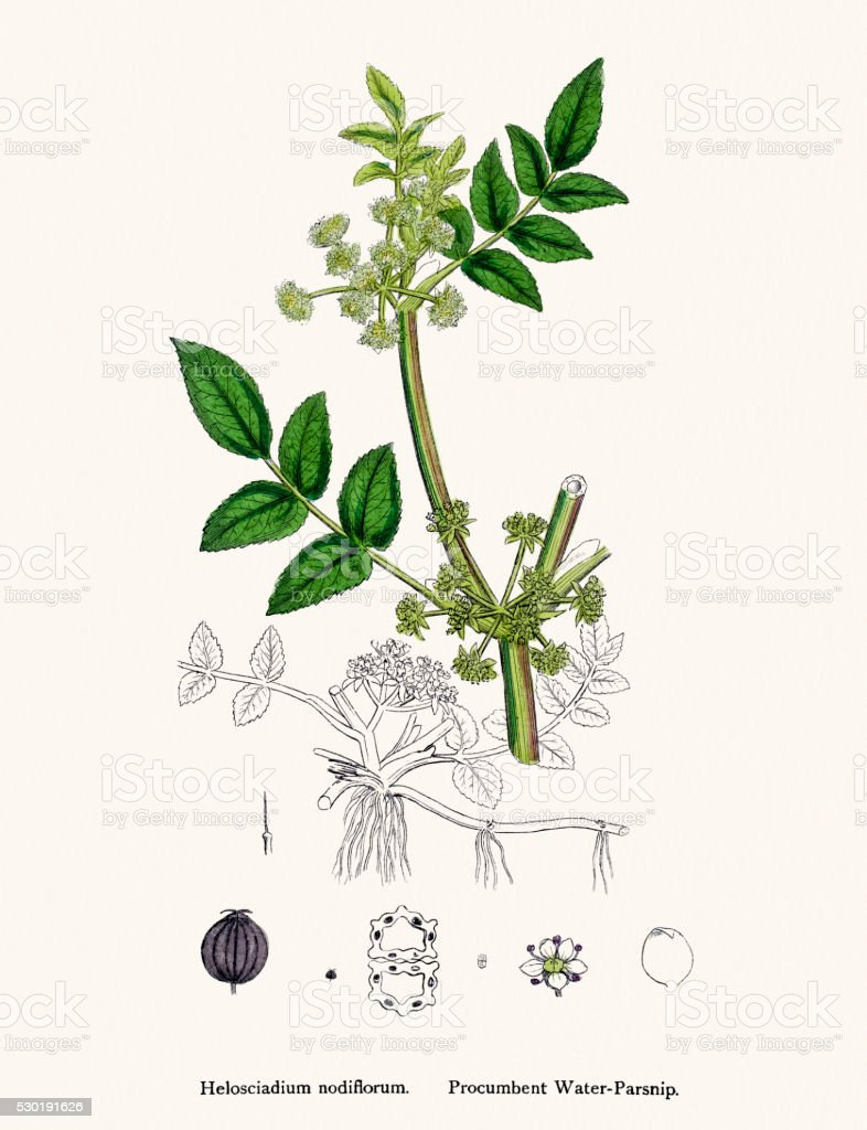 Water Parsnip plant used as diuretic and lazative vector art illustration