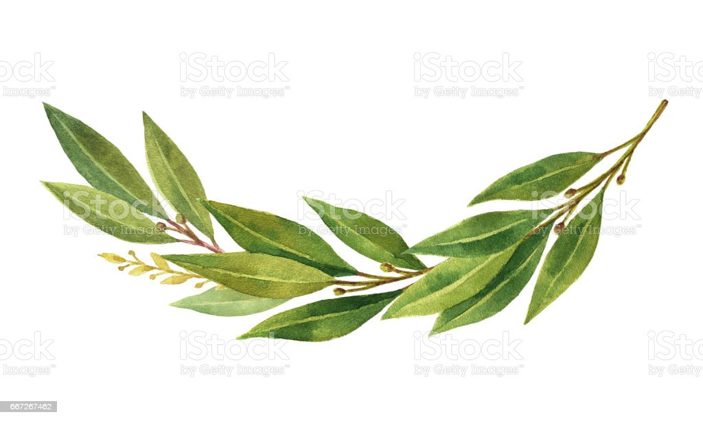Watercolor Bay leaf wreath isolated on white background. vector art illustration