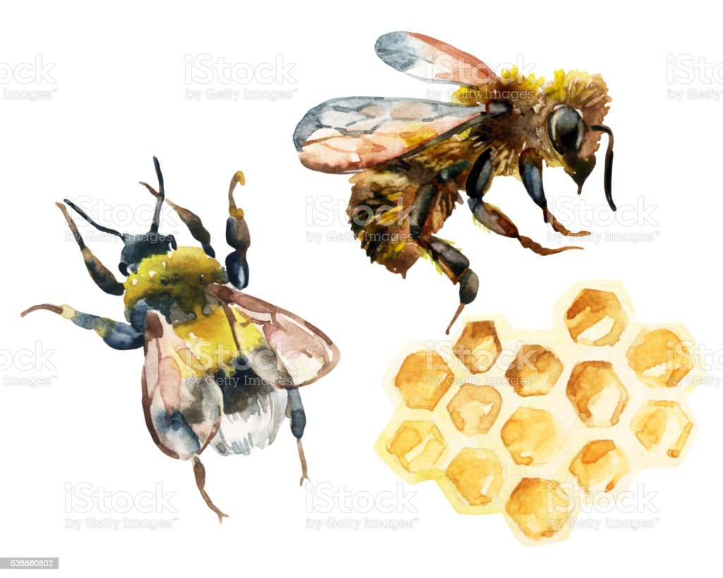 Watercolor bee, bumble bee and honeycomb set vector art illustration