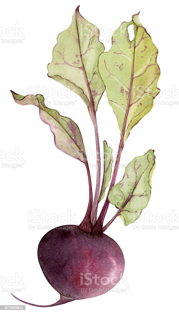 Watercolor beetroot with leafs vector art illustration