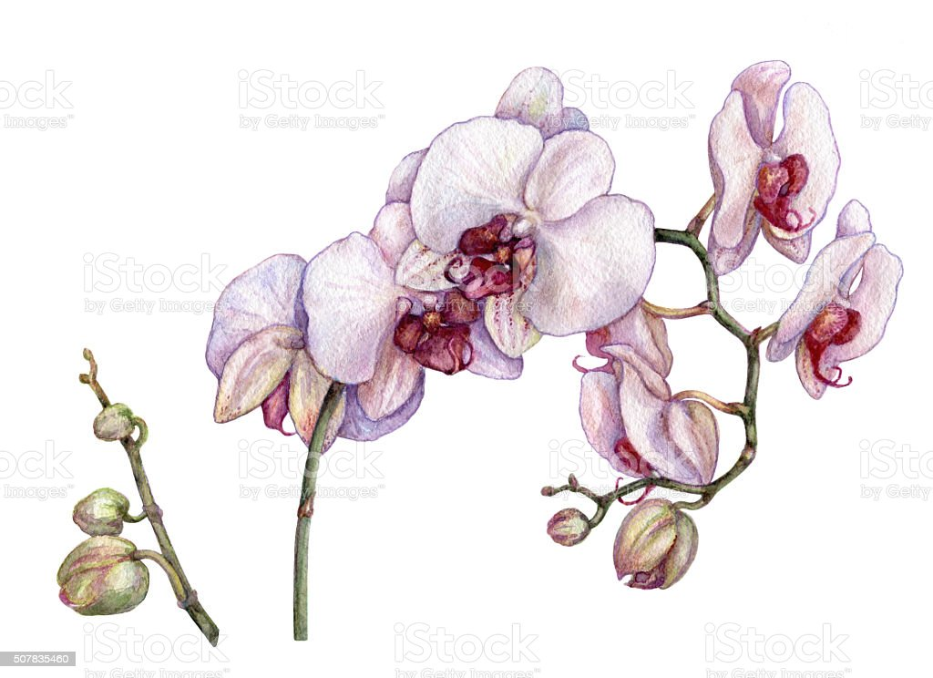 Watercolor branch of orchid. vector art illustration