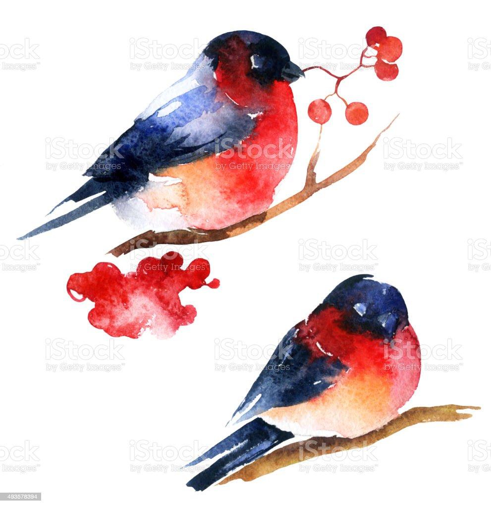 Watercolor bullfinch and ashberry vector art illustration