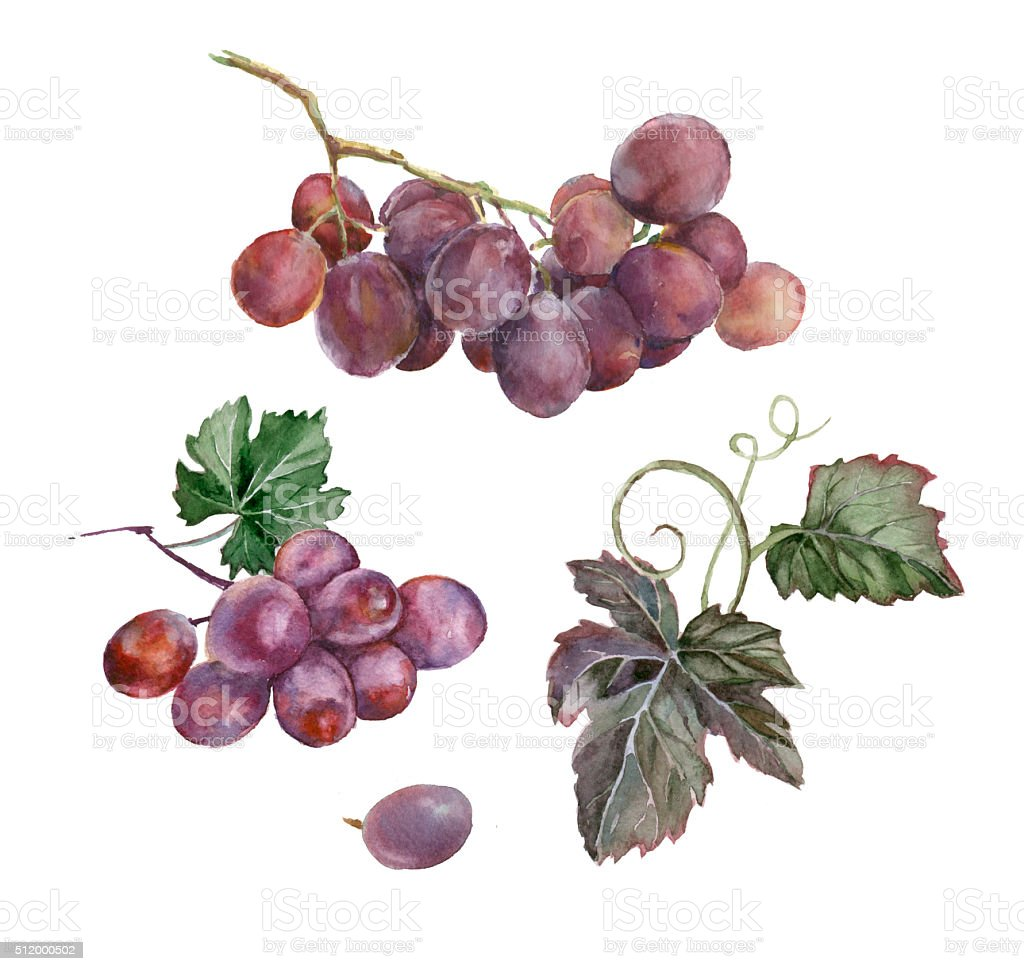 Watercolor bunch of grapes. vector art illustration