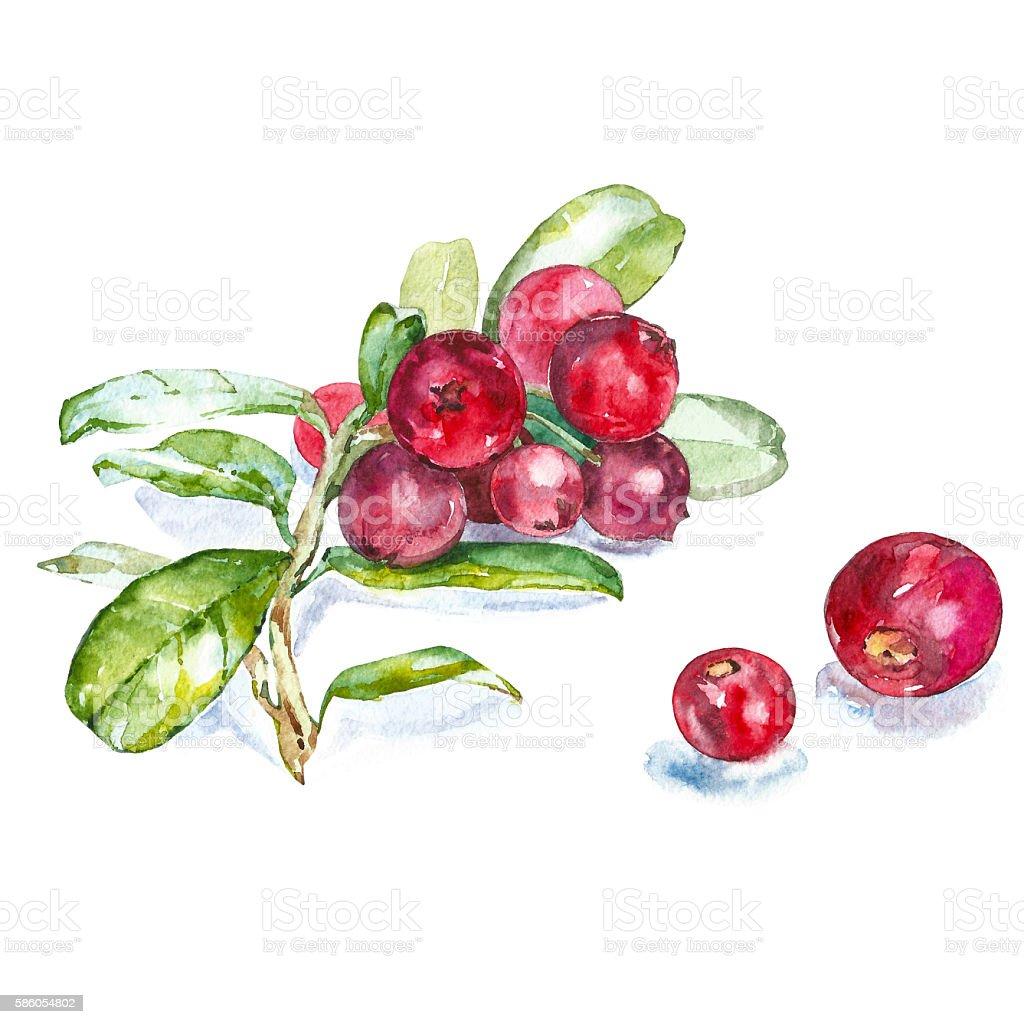 Watercolor cranberries vector art illustration