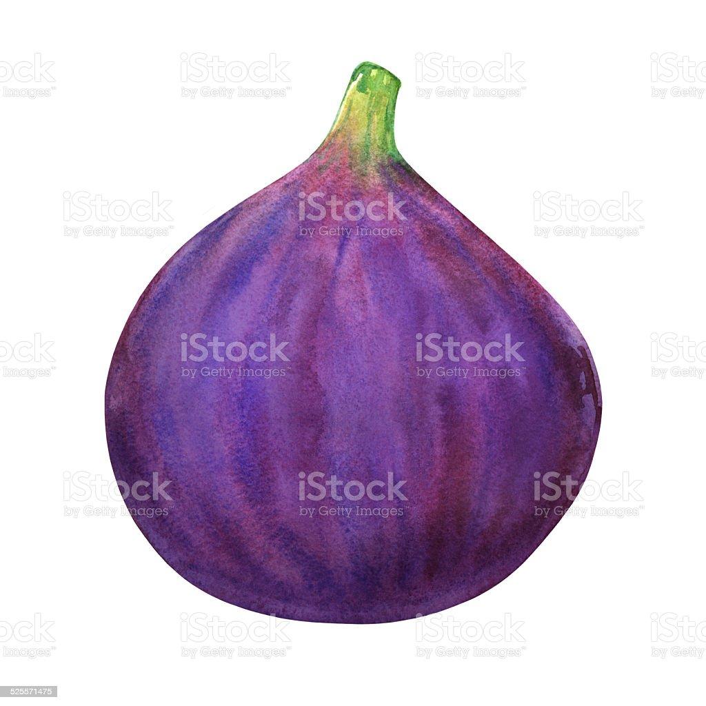 Watercolor fig fruit vector art illustration