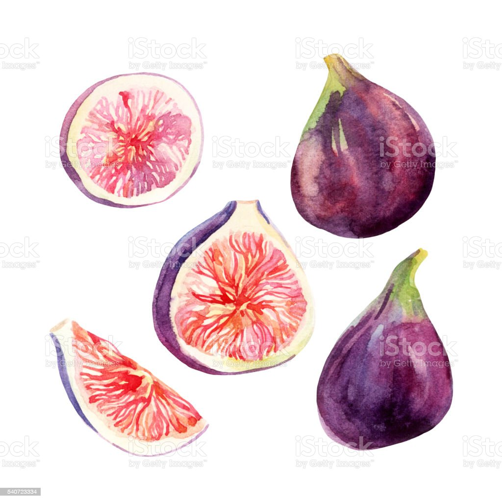 Watercolor fig fruit set isolated on white background vector art illustration