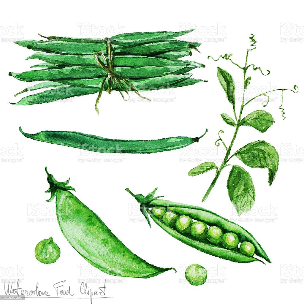Watercolor Food Clipart - Green Beans and Peas vector art illustration