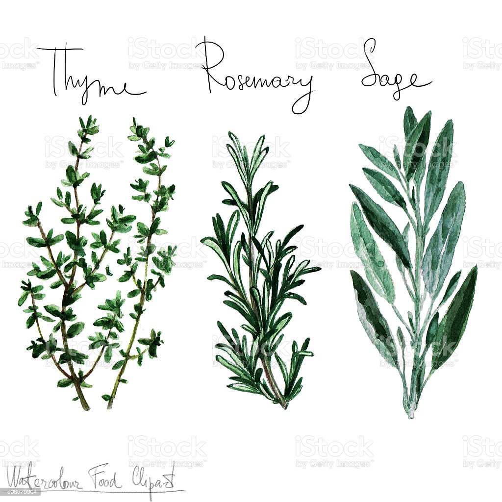 Watercolor Food Clipart - Herbs vector art illustration