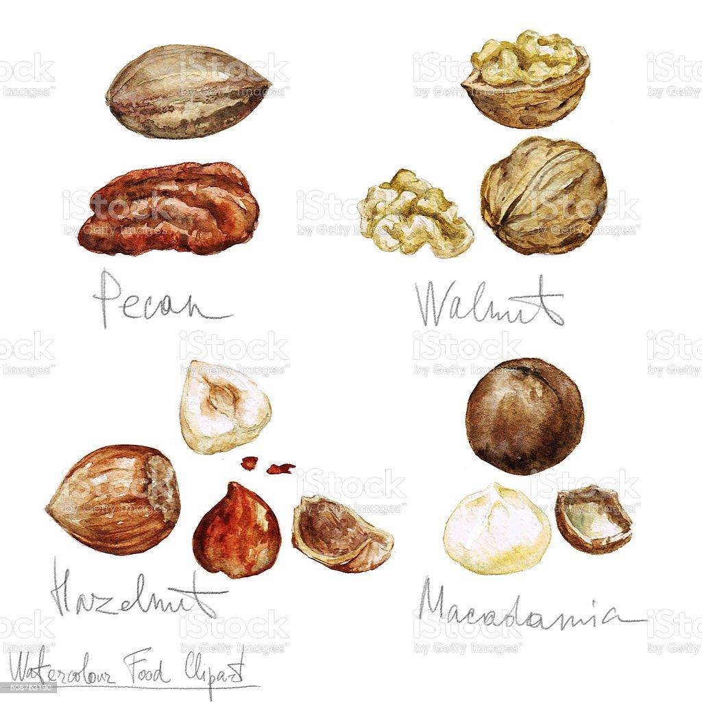 Watercolor Food Clipart - Nuts vector art illustration