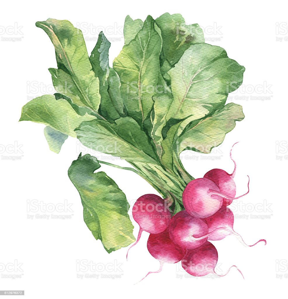 Watercolor fresh ripe radish vector art illustration