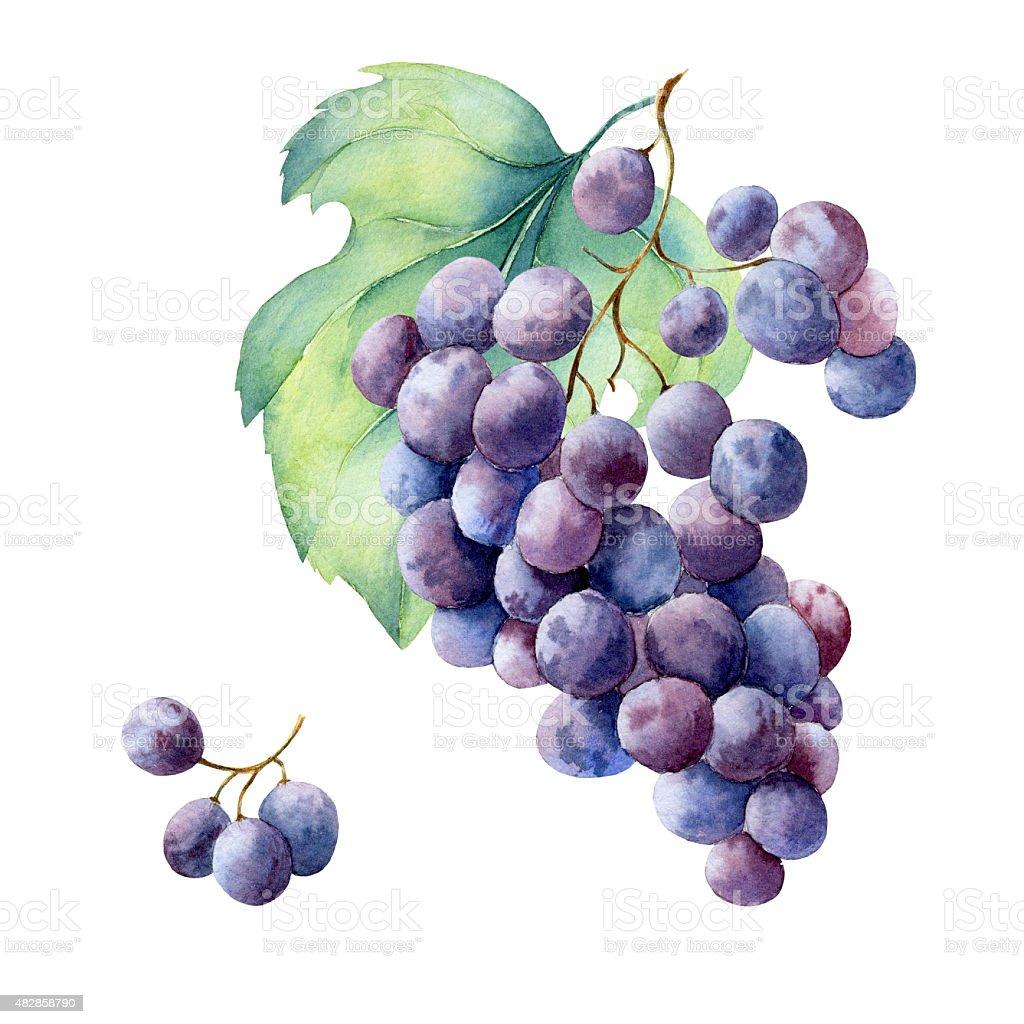 watercolor fruit branch grape vector art illustration