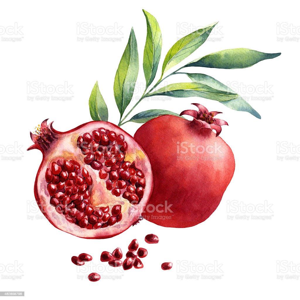 watercolor fruit pomegranate on white background vector art illustration