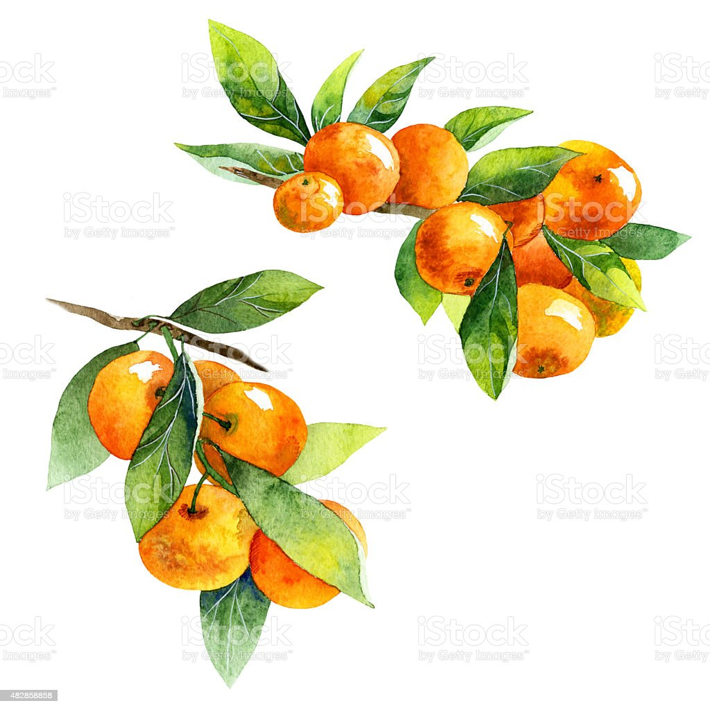 watercolor fruit tangerine branch on white background vector art illustration