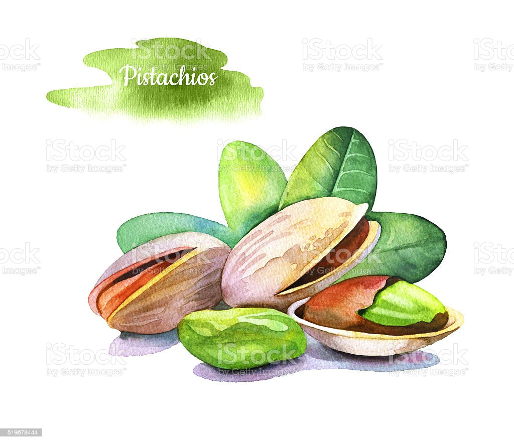 Watercolor hand drawn pistachios on white background. vector art illustration