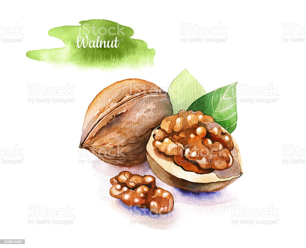 Watercolor hand drawn walnuts isolated on white background. vector art illustration