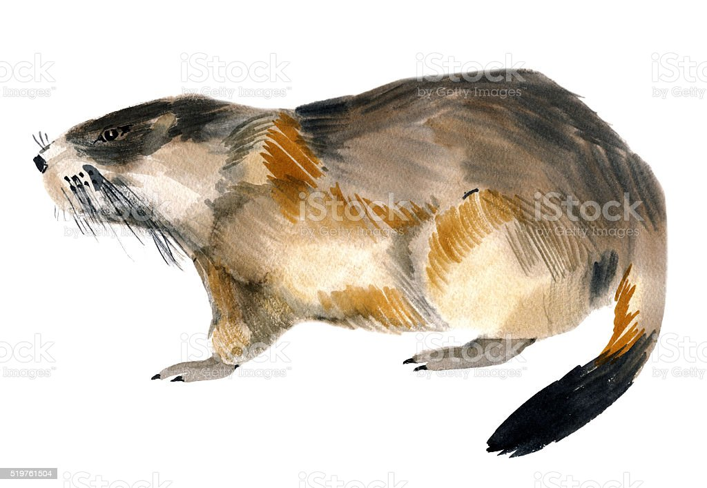 Watercolor illustration of a marmot in white background. vector art illustration