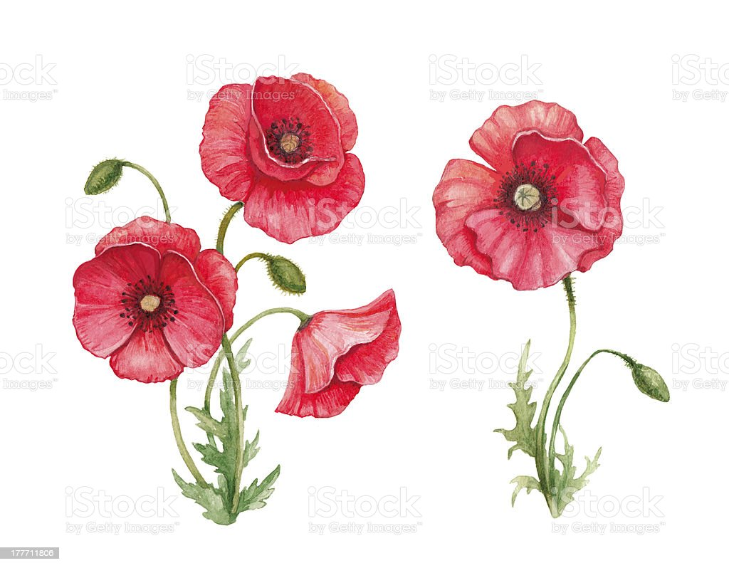Watercolor illustration of poppy flowers royalty-free stock vector art