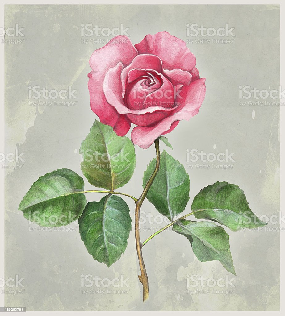 Watercolor illustration of rose flower royalty-free stock vector art