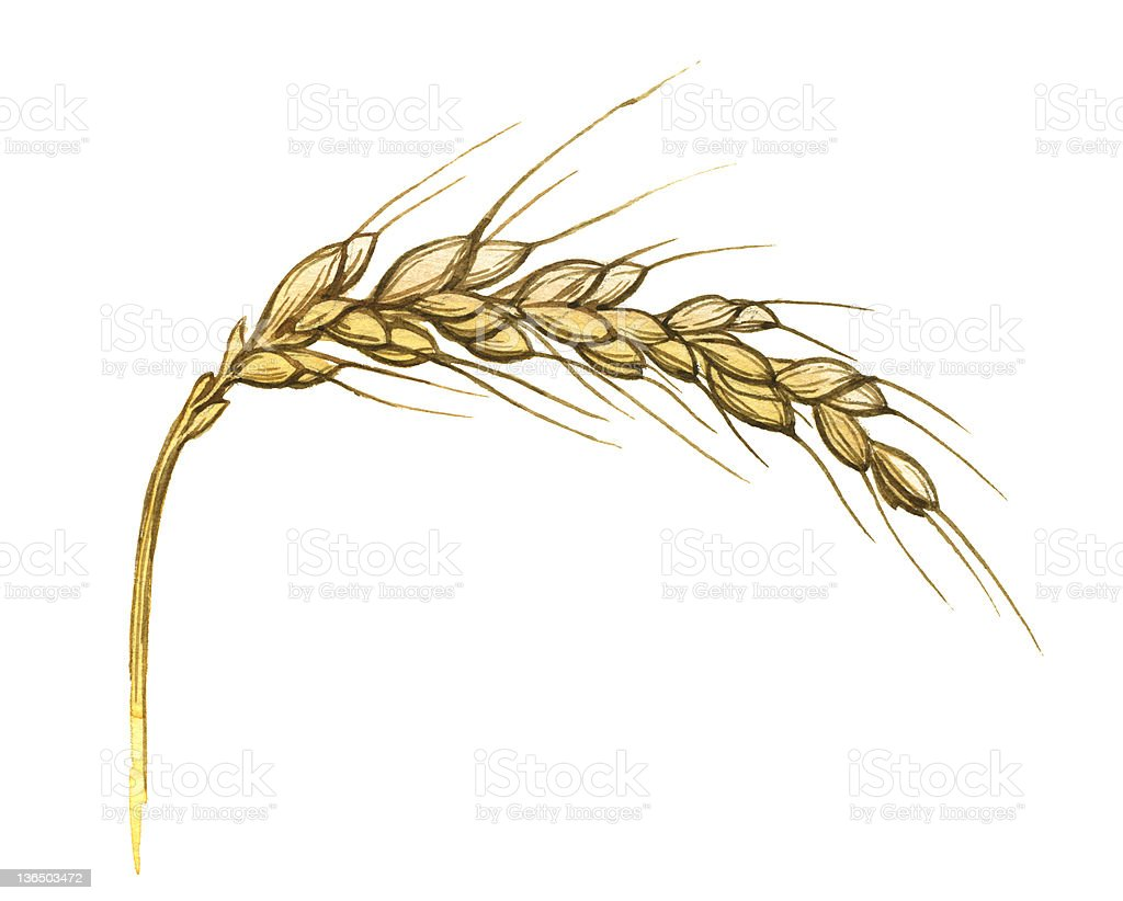 Watercolor illustration of wheat ear on white royalty-free stock vector art