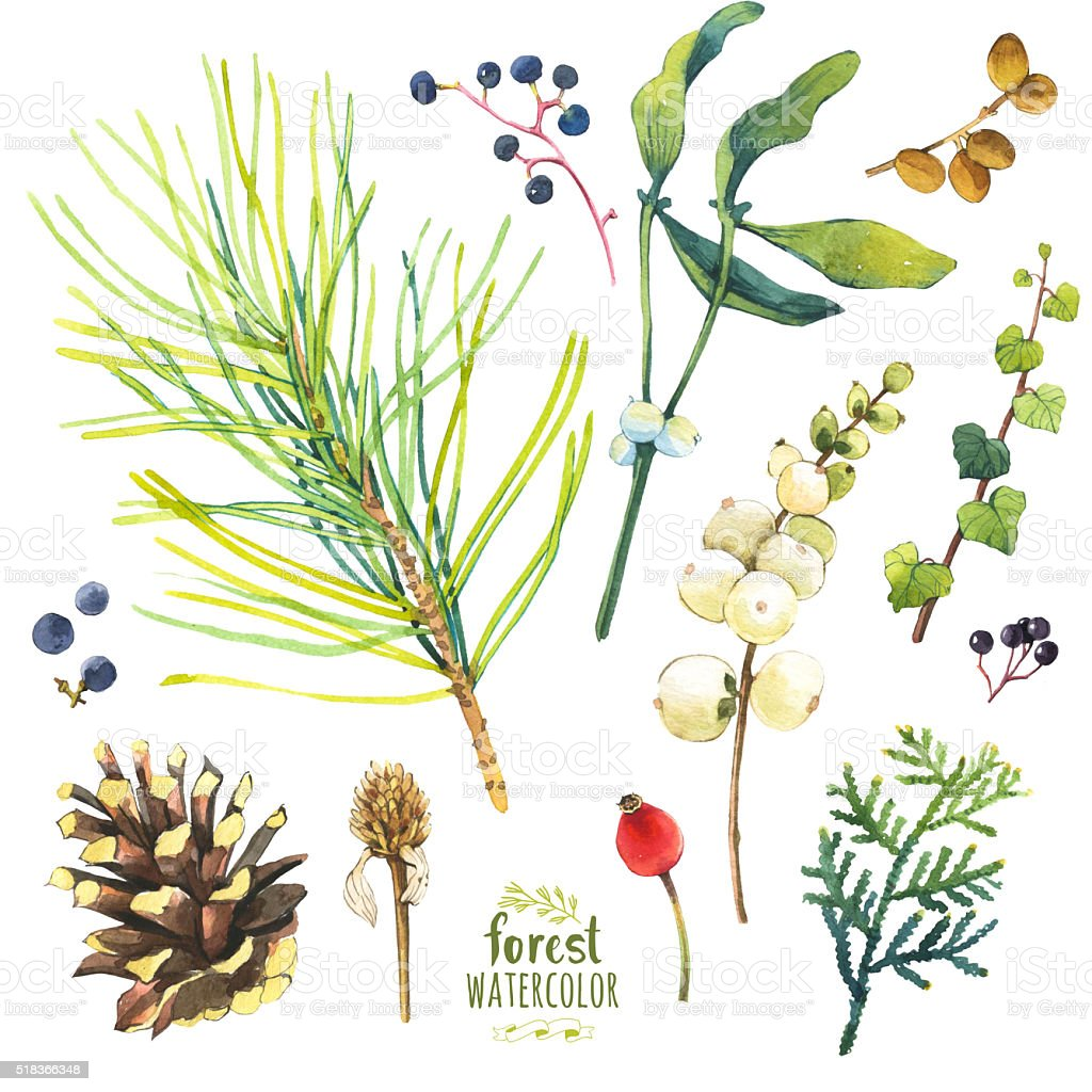 Watercolor illustration with branches, cone and berries. vector art illustration