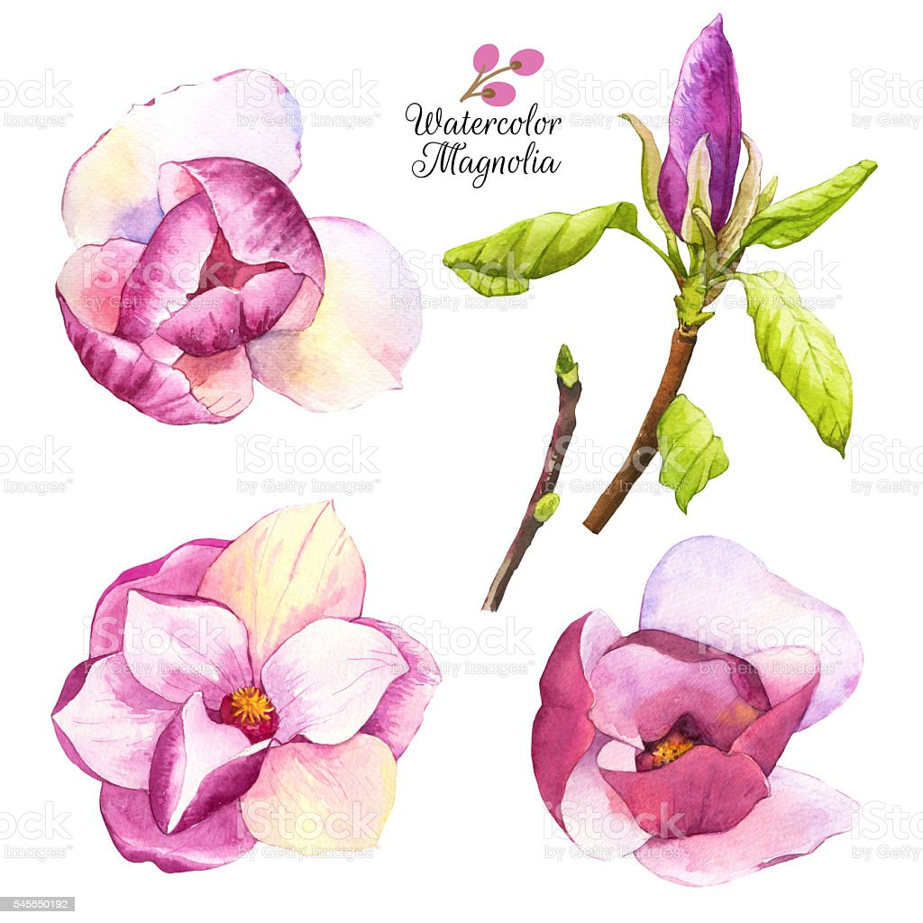 Watercolor illustration with magnolias flowers and bud. vector art illustration